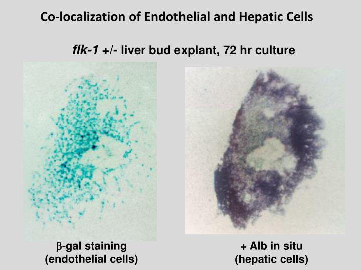 Co-localization of Endothelial and Hepatic Cells