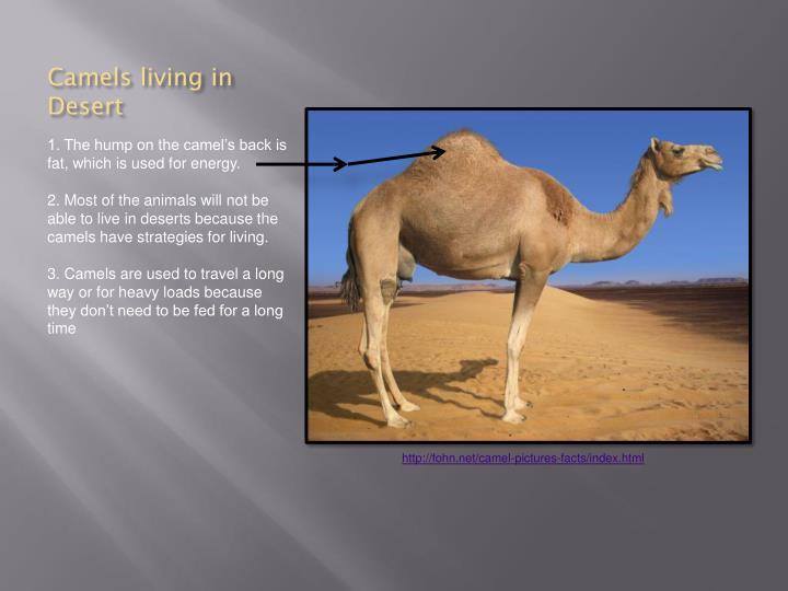 Camels living in Desert