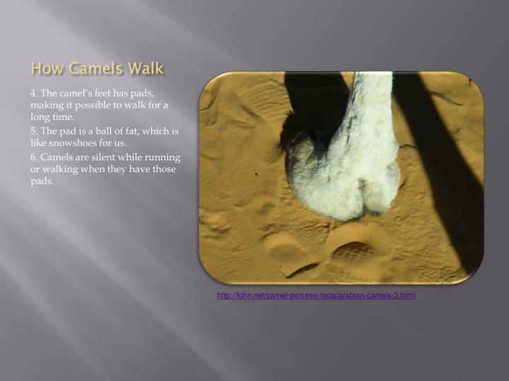 How Camels Walk