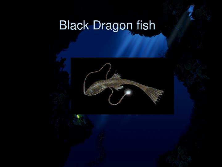 Black Dragon fish