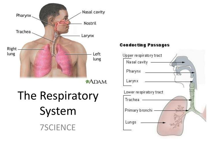 The respiratory system and its functions Term paper Help ...