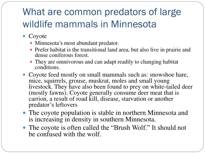 What are common predators of large wildlife mammals in Minnesota