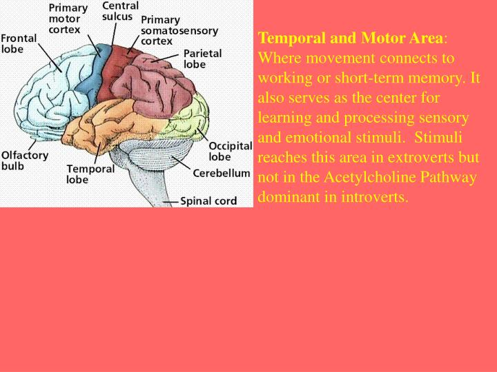 Temporal and Motor Area