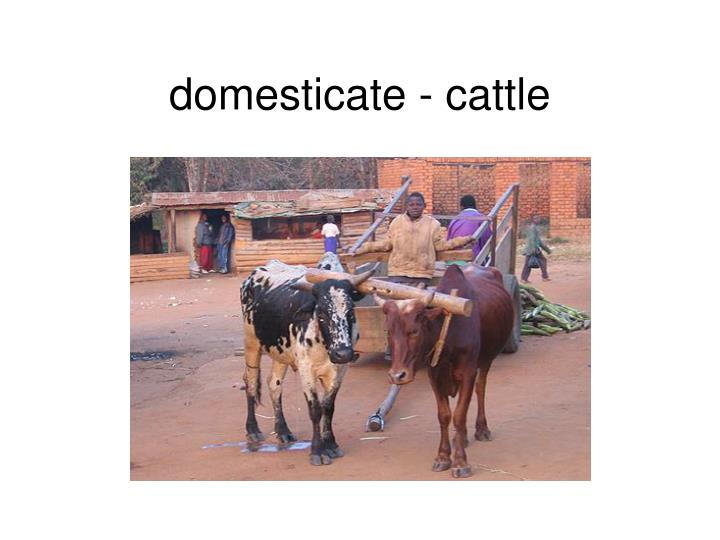 domesticate - cattle