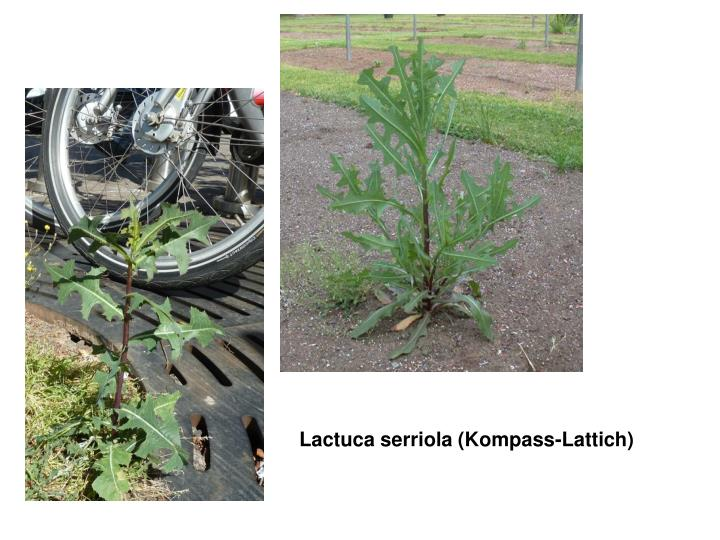 Lactuca serriola (Kompass-Lattich)