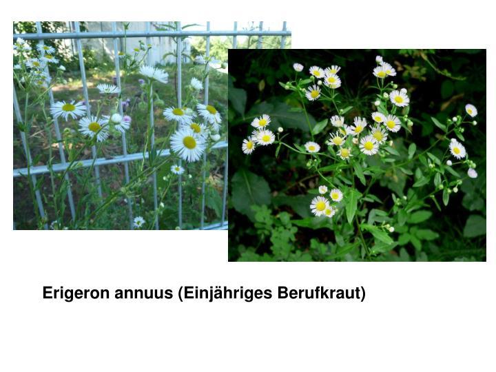 Erigeron annuus (Einjähriges Berufkraut)