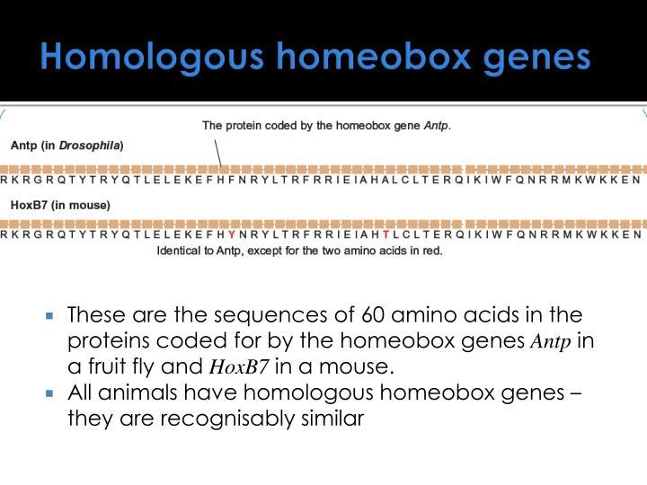 Homologous homeobox genes