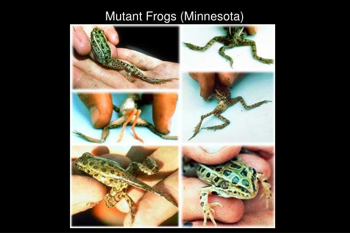 Mutant Frogs (Minnesota)