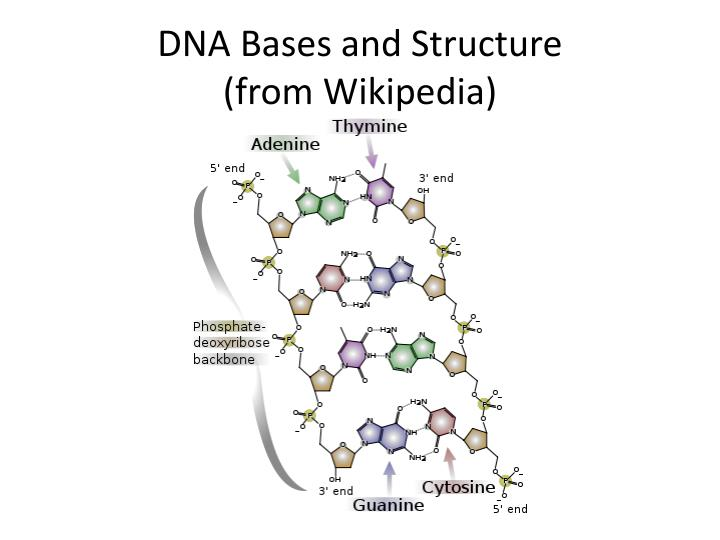 DNA Bases and Structure
