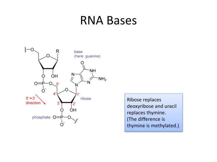 RNA Bases