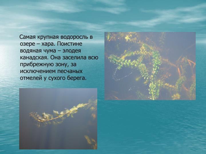 Самая крупная водоросль в озере – хара. Поистине водяная чума – элодея канадская. Она заселила всю прибрежную зону, за исключением песчаных отмелей у сухого берега.
