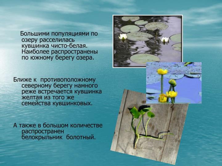 Большими популяциями по озеру расселилась кувшинка чисто-белая. Наиболее распространены по южному берегу озера.
