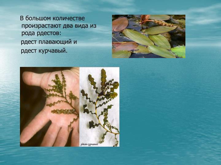 В большом количестве произрастают два вида из рода рдестов: