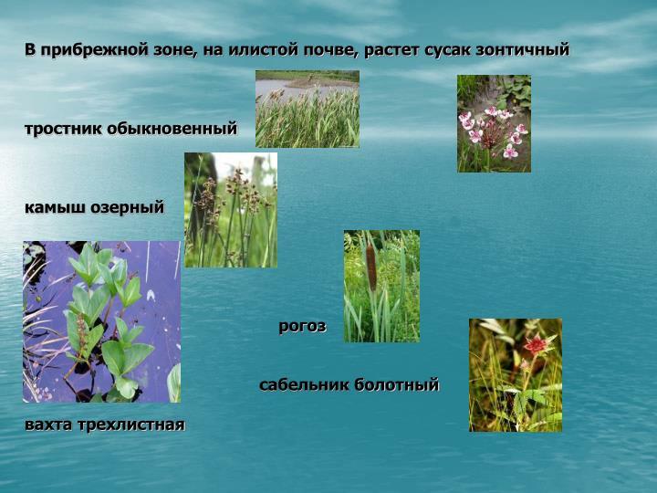 В прибрежной зоне, на илистой почве, растет сусак зонтичный