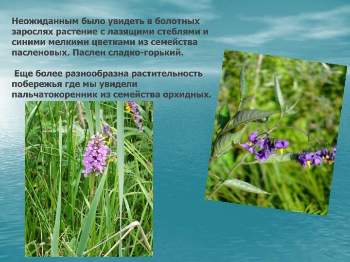 Неожиданным было увидеть в болотных зарослях растение с лазящими стеблями и синими мелкими цветками из семейства пасленовых. Паслен сладко-горький.