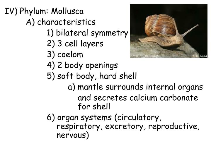 IV) Phylum: Mollusca