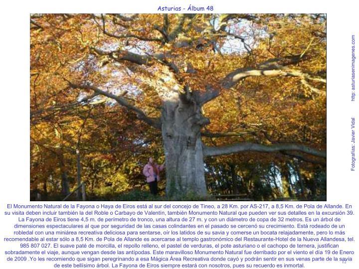 El Monumento Natural de la Fayona o Haya de Eiros está al sur del concejo de Tineo, a 28 Km. por AS-217, a 8,5 Km. de Pola de Allande. En su visita deben incluir también la del Roble o Carbayo de Valentín, también Monumento Natural que pueden ver sus detalles en la excursión 39. La Fayona de Eiros tiene 4,5 m. de perímetro de tronco, una altura de 27 m. y con un diámetro de copa de 32 metros. Es un árbol de dimensiones espectaculares al que por seguridad de las casas colindantes en el pasado se cercenó su crecimiento. Está rodeado de un robledal con una miniárea recreativa deliciosa para sentarse, oír los latidos de su savia y comerse un bocata relajadamente, pero lo más recomendable al estar sólo a 8,5 Km. de Pola de Allande es acercarse al templo gastronómico del Restaurante-Hotel de la Nueva Allandesa, tel. 985 807 027. El suave paté de morcilla, el repollo relleno, el pastel de verduras, el pote asturiano o el cachopo de ternera, justifican sobradamente el viaje, aunque vengan desde las antípodas. Este maravilloso Monumento Natural fue derribado por el viento el día 19 de Enero de 2009 .Yo les recomiendo que sigan peregrinando a esa Mágica Área Recreativa donde cayó y podrán sentir en sus venas parte de la savia de este bellísimo árbol. La Fayona de Eiros siempre estará con nosotros, pues su recuerdo es inmortal.