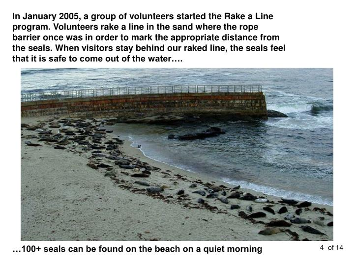 In January 2005, a group of volunteers started the Rake a Line program. Volunteers rake a line in the sand where the rope barrier once was in order to mark the appropriate distance from the seals. When visitors stay behind our raked line, the seals feel that it is safe to come out of the water….