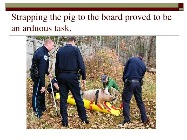 Strapping the pig to the board proved to be an arduous task.