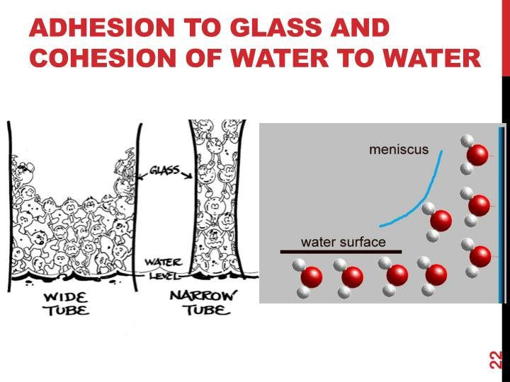 Adhesion to glass and cohesion of water to water