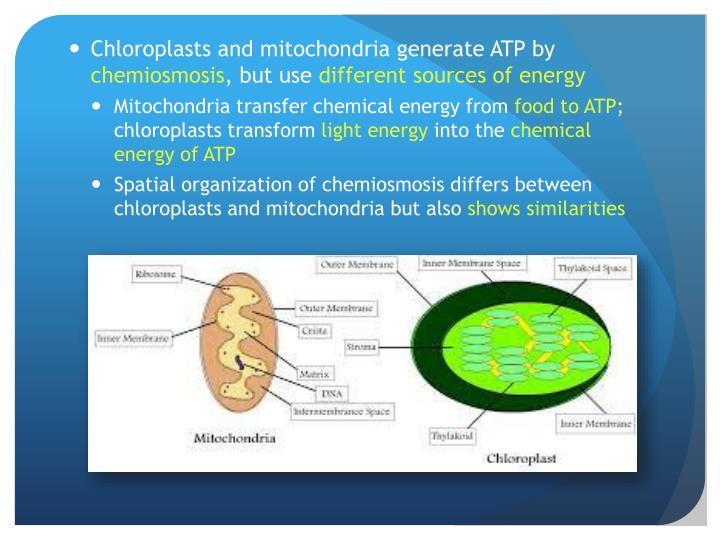 Chloroplasts and mitochondria generate ATP by