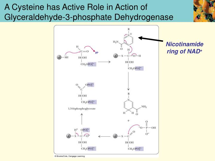 A Cysteine has Active Role in Action of Glyceraldehyde-3-phosphate Dehydrogenase
