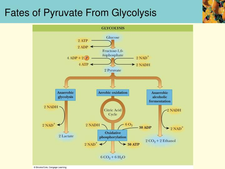 Fates of Pyruvate From Glycolysis