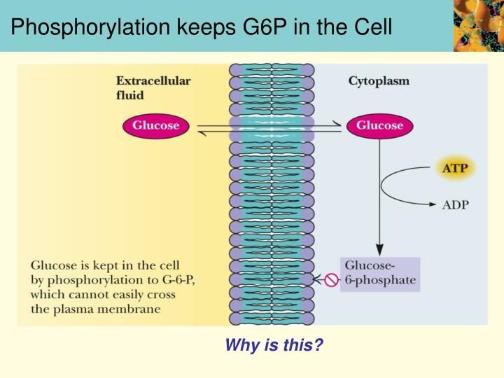Phosphorylation keeps G6P in the Cell