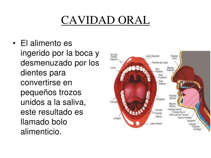 El alimento es ingerido por la boca y desmenuzado por los dientes para convertirse en pequeños trozos unidos a la saliva, este resultado es llamado bolo alimenticio.