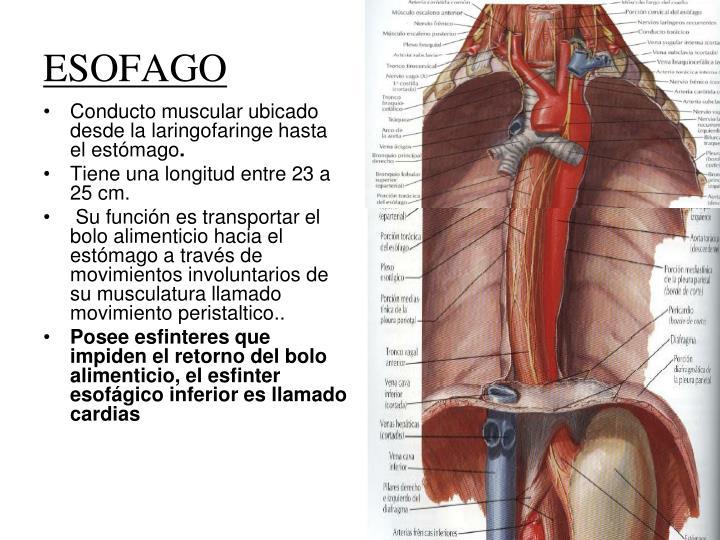 Conducto muscular ubicado desde la laringofaringe hasta el estómago