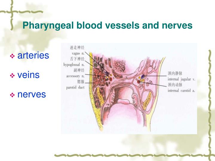 Pharyngeal blood vessels and nerves