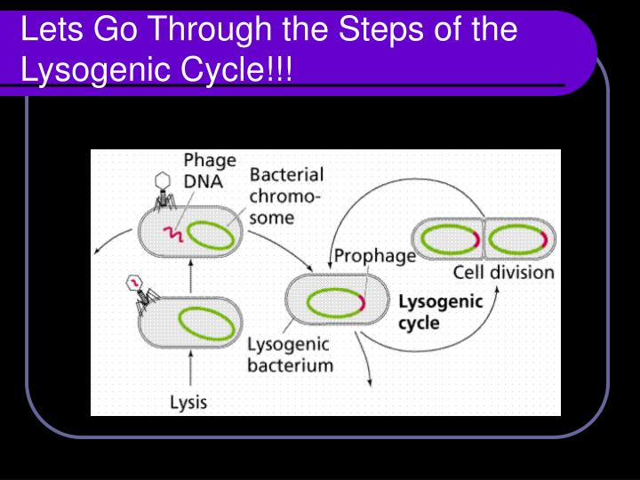 Lets Go Through the Steps of the Lysogenic Cycle!!!