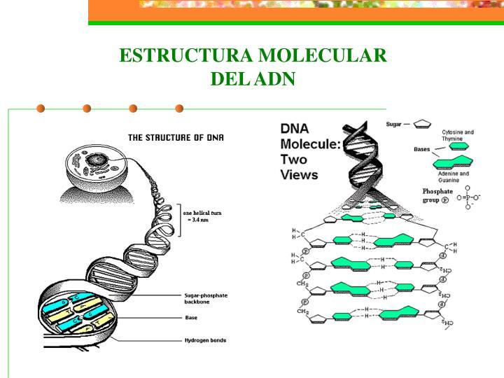 ESTRUCTURA MOLECULAR DEL ADN