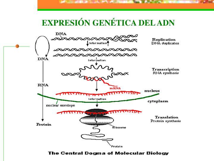 EXPRESIÓN GENÉTICA DEL ADN