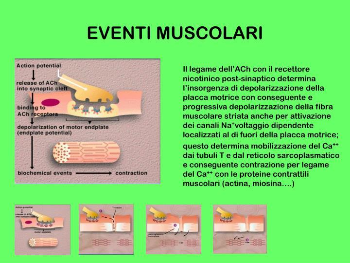 Il legame dell'ACh con il recettore nicotinico post-sinaptico determina l'insorgenza di depolarizzazione della placca motrice con conseguente e progressiva depolarizzazione della fibra muscolare striata anche per attivazione dei canali Na