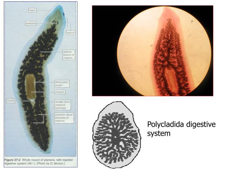 Polycladida digestive system