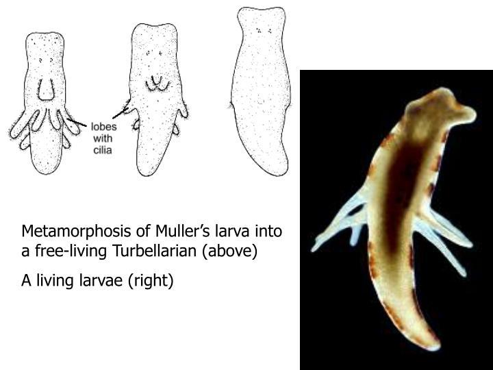 Metamorphosis of Muller's larva into a free-living Turbellarian (above)
