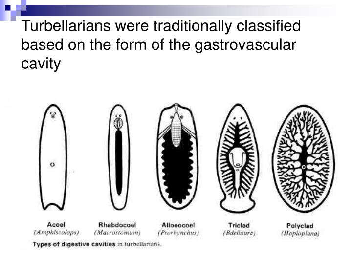 Turbellarians were traditionally classified based on the form of the gastrovascular cavity