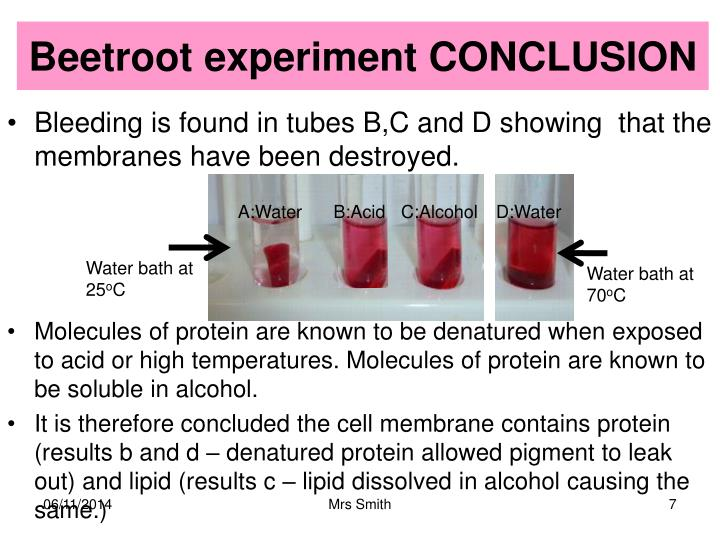 Beetroot experiment CONCLUSION