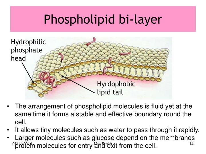 Phospholipid bi-layer