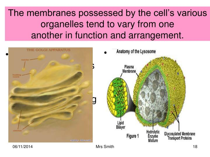 The membranes possessed by the cell's various organelles tend to vary from one