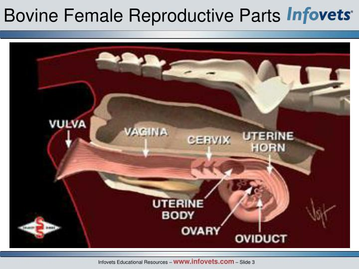 Bovine Female Reproductive Parts