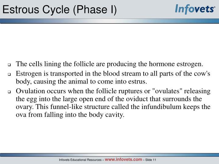 Estrous Cycle (Phase I)