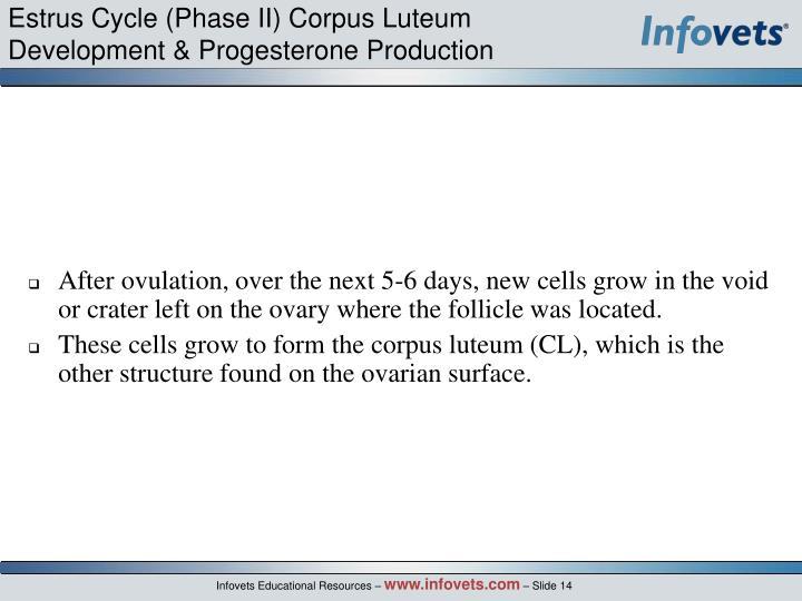 Estrus Cycle (Phase II) Corpus Luteum