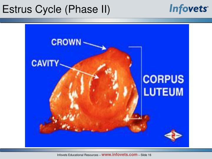 Estrus Cycle (Phase II)