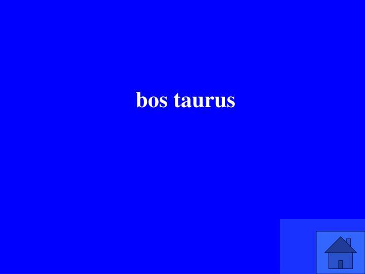 bos taurus