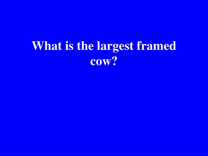 What is the largest framed cow?