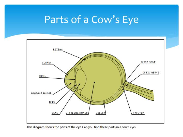Parts of a cow s eye