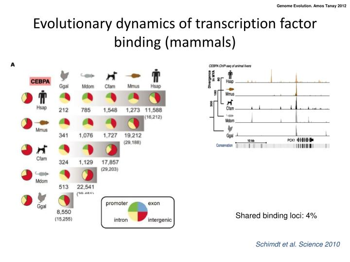 Evolutionary dynamics of transcription factor binding (mammals)