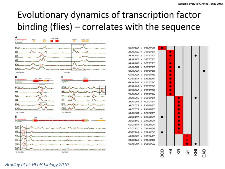 Evolutionary dynamics of transcription factor binding (flies) – correlates with the sequence
